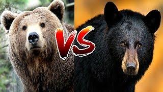 Walki Zwierząt - Grizli vs Czarny Niedźwiedź