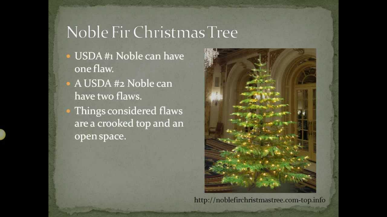 Noble Fir Christmas Tree - Why is the Noble Fir Christmas Tree so ...