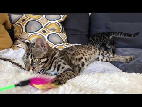 F1 bengal cat fights with her kitten
