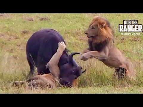 Thumbnail: Dramatic Lion Hunt: Lions Stalk And Kill Buffalo Cow & Newborn Calf !!