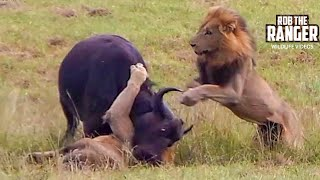 Dramatic Lion Action: Lions Stalk And Catch Buffalo Cow & Newborn Calf!! thumbnail