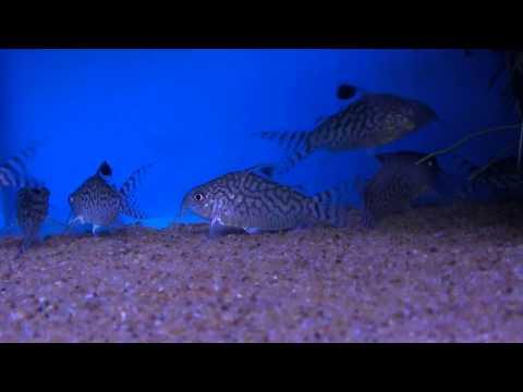 Reticulated Cory (Corydoras Reticulatus) - Tropical Fish