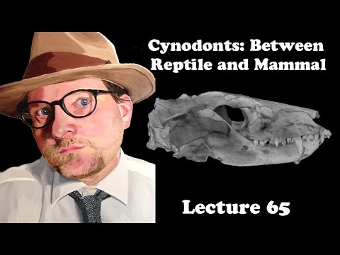 Lecture 65 Cynodonts: Between Reptile And Mammal