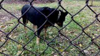 Собака ест траву ,чтобы почистить желудок