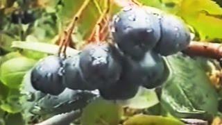 видео Целебные свойства черноплодной рябины (аронии)
