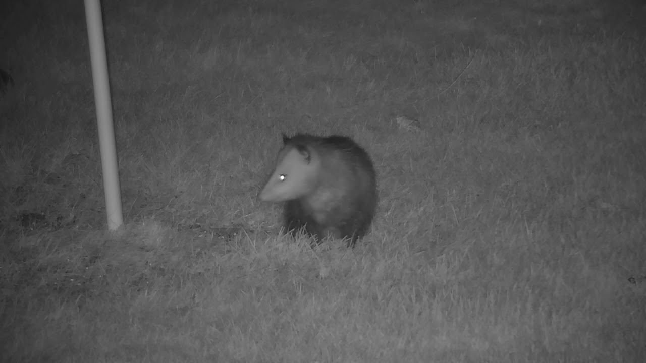 possum makes an appearance in the backyard youtube