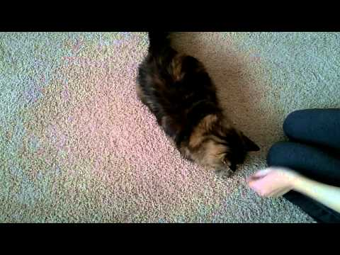 Maine Coon cat does dog tricks!