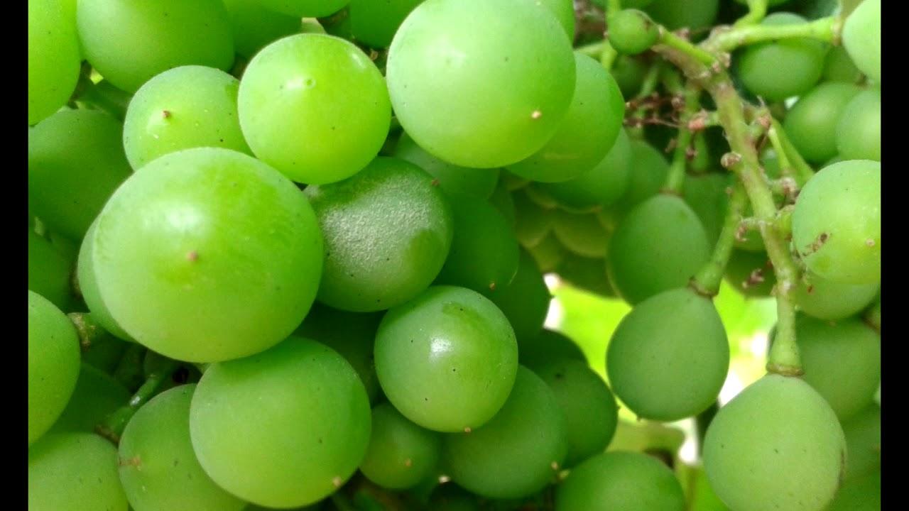 a szőlő visszér ellen