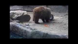 Heroic Bear Saves Crow From Drowning at Budapest Zoo