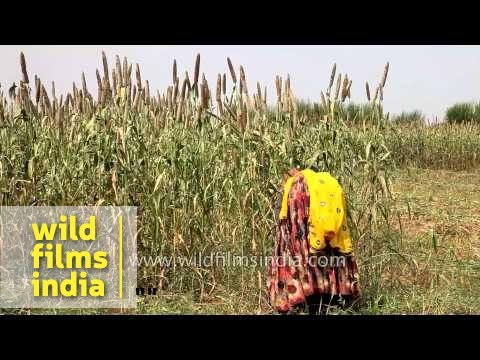 Women working at a field of Pearl millet in Lalsot ...