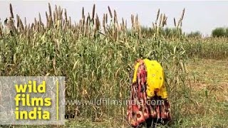 Women working at a field of Pearl millet in Lalsot, Rajasthan