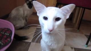 Кот порода балинез Джокер