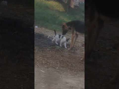 Dog With Cat Playing Funny Cats And Dogs Playing Together Funny