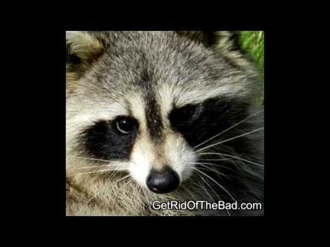 How to get rid of Raccoons fast!<a href='/yt-w/EMXCbgon6TI/how-to-get-rid-of-raccoons-fast.html' target='_blank' title='Play' onclick='reloadPage();'>   <span class='button' style='color: #fff'> Watch Video</a></span>