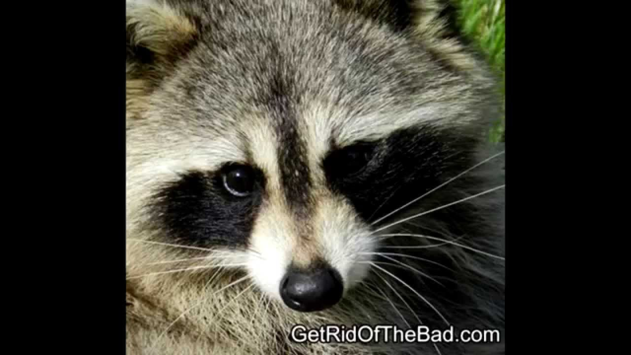 How To Get Rid Of Raccoons Fast Youtube