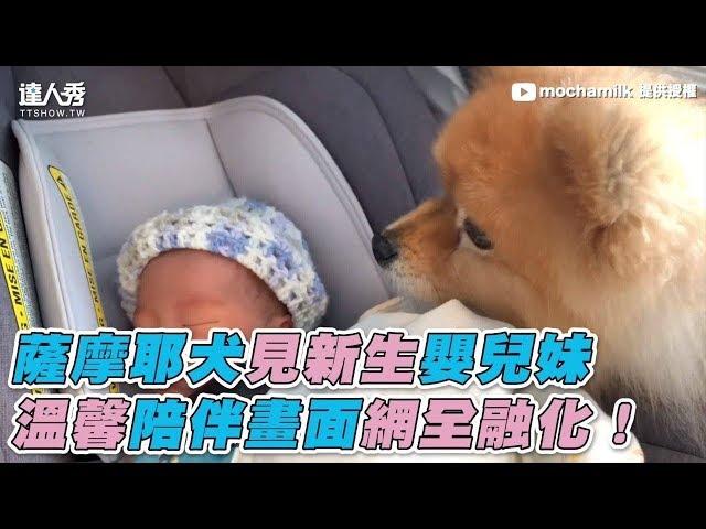 【薩摩耶犬見新生嬰兒妹 溫馨陪伴畫面網全融化!】
