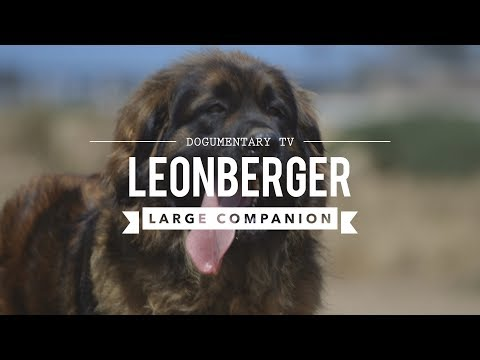 ALL ABOUT LEONBERGER, THE LION DOG