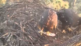 Video 2014 03 12 080829 ~ AEF NEFL EAGLES, FISH TUG-OF-WAR
