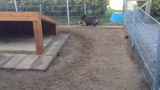 Cairn terrier Tesla greets her grandmother & great grandmother