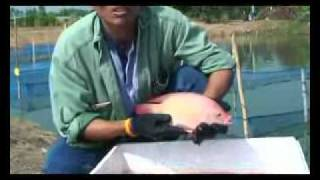 Nam Sai tilapia farm and hatchery Thailand.flv