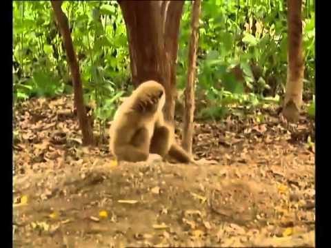 Αποτέλεσμα εικόνας για χιμπατζής vs τίγρη