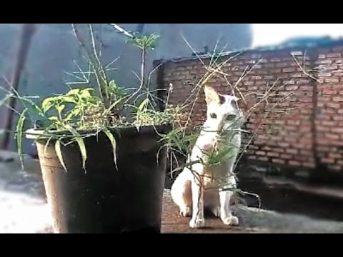 Watch this... Why do cats eat grass?