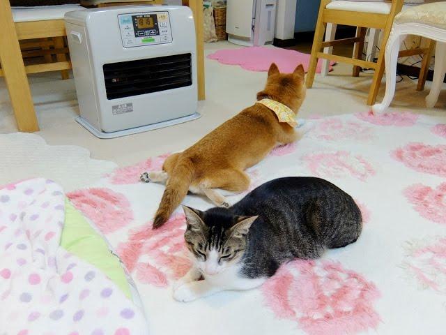 ファンヒーターと柴犬ひかいちと猫ミルキー Heating, Shiba dog and cat