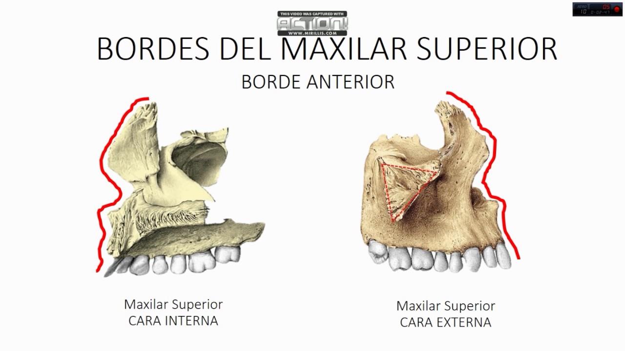 MAXILAR SUPERIOR/ANATOMÍA - YouTube