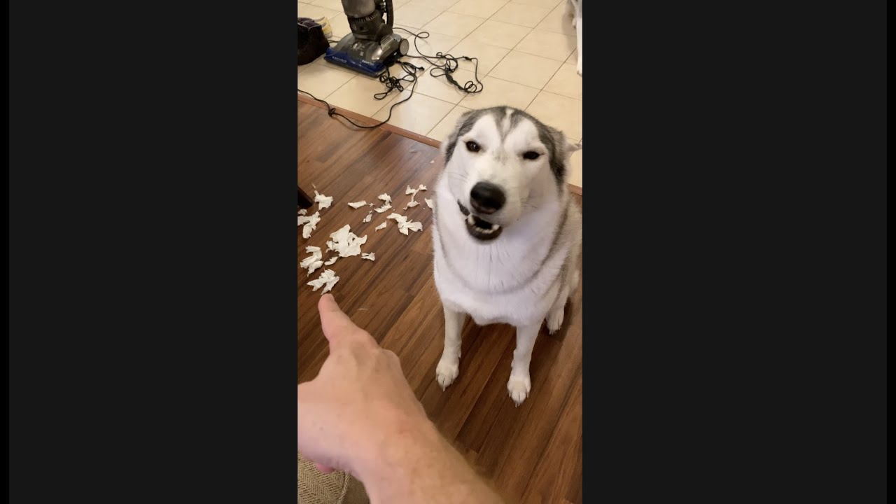 Guilty Husky APOLOGIZES For Destroying My House!!! #shorts