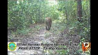 Video Harimau Sumatera Way Kambas Lampung