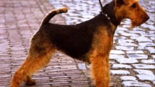 Все породы собак.Вельштерьер / Вельш Терьер (Welsh Terrier)