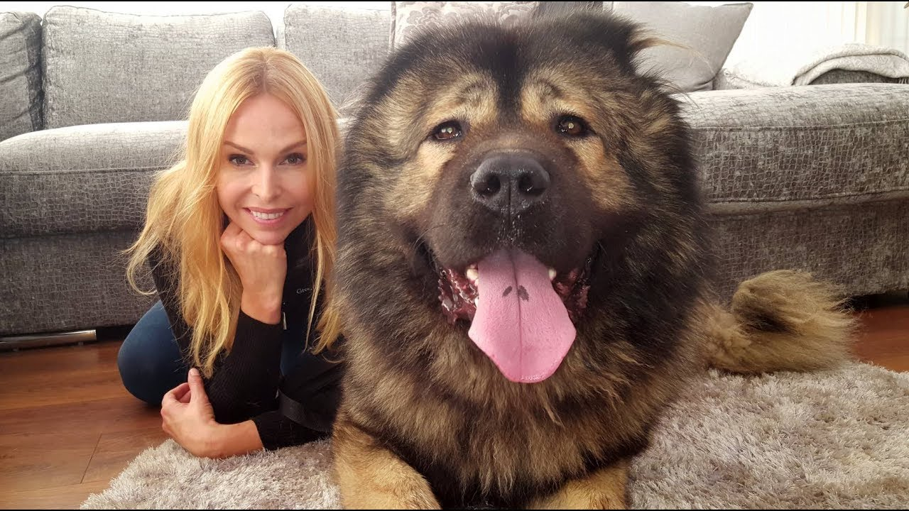 Wolf Killer The Caucasian Shepherd Ovcharka Dog