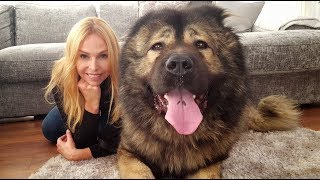 WOLF KILLER? THE CAUCASIAN SHEPHERD OVCHARKA DOG