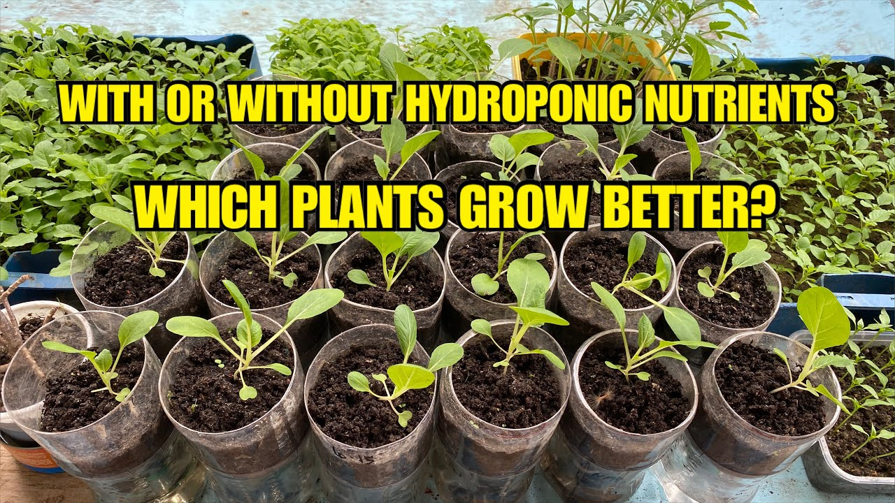 Planting Pechay in a Container With and Without Hydroponic Nutrients