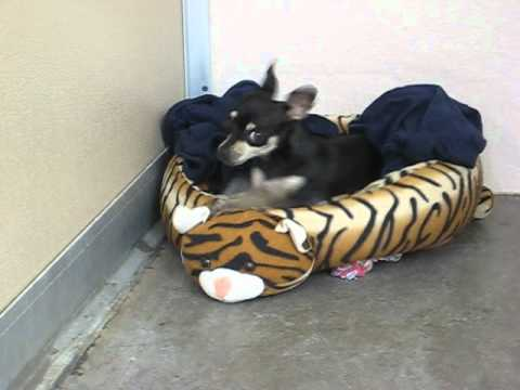 Adoptable Chihuahua at Santa Monica Animal Shelter