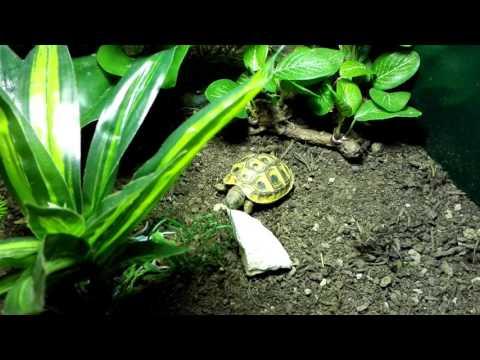 jake-the-tortoise-eating-chalk