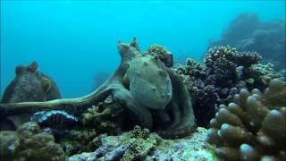 بالفيديو .. معركة شرسة بين اخطبوط وسمكة في قاع البحر
