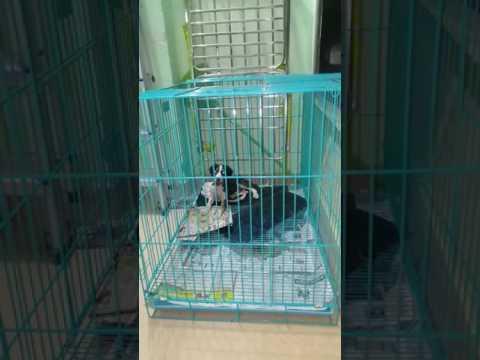 Pashmi hound (Indian Saluki) puppy temperament