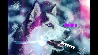 Моя собака Акира