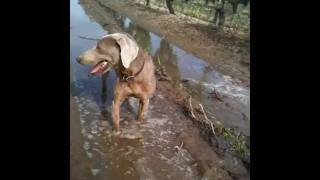 Nick's Weimaraner Hunting Gopher - Take No Prisoners!