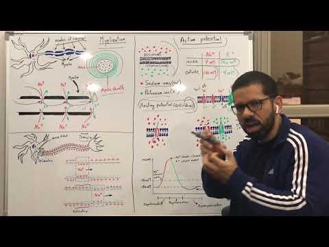 انتقال الاشارات العصبية Action Potential