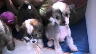 мини-щенки китайской хохлатой