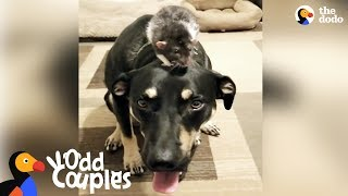 Dog and Rat Brothers Love Wrestling With Each Other | The Dodo Odd Couples thumbnail