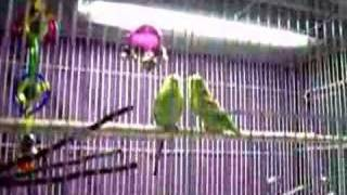 Talkative Parakeets