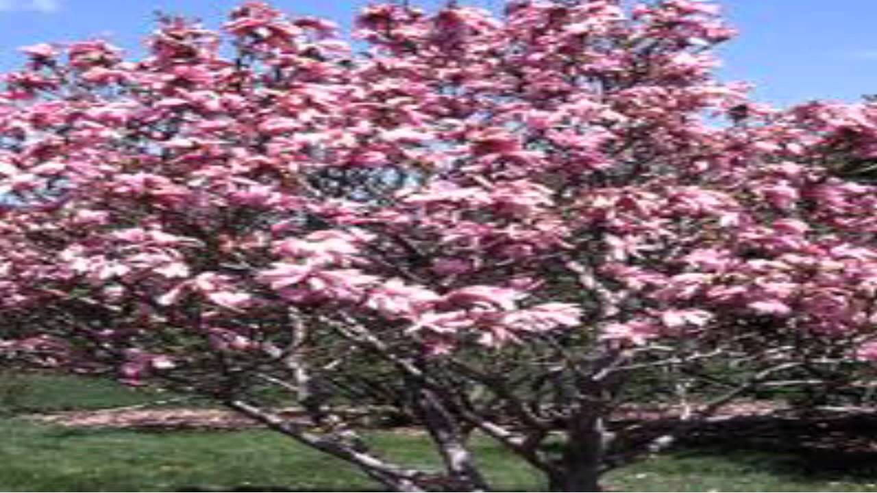 Magnolia Jane Trees For Sale Youtube