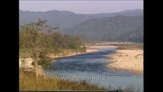 Wild Indian Sambar Deer