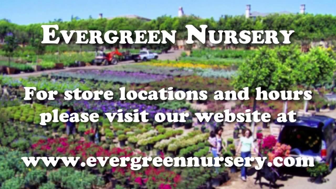 Evergreen Nursery San Go S Largest Whole
