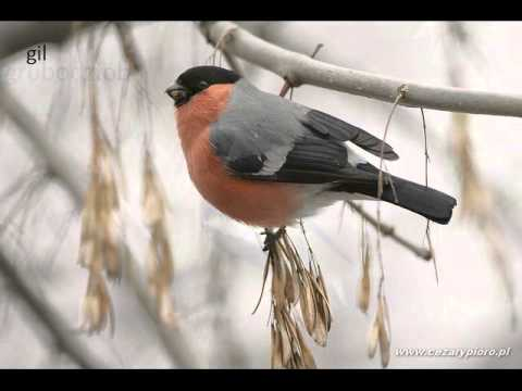 Ptaki Zimujące W Polsce Youtube