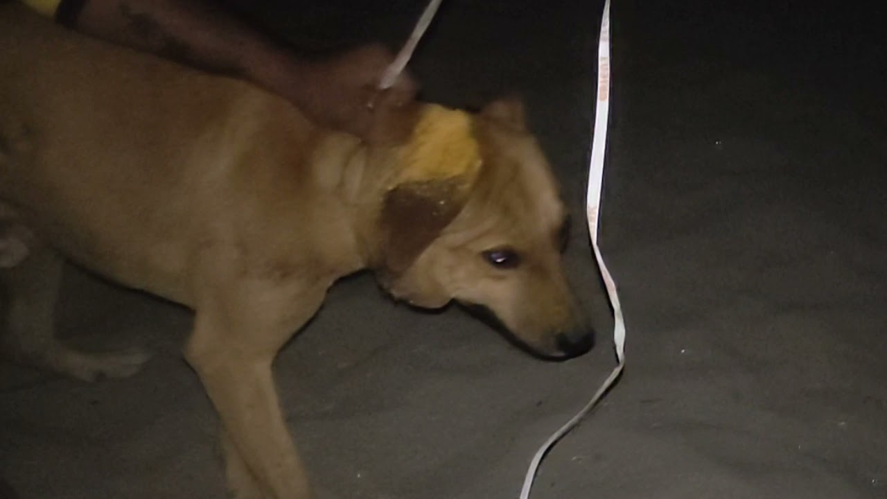 Download terribly injured dog seemed know we had to save his life