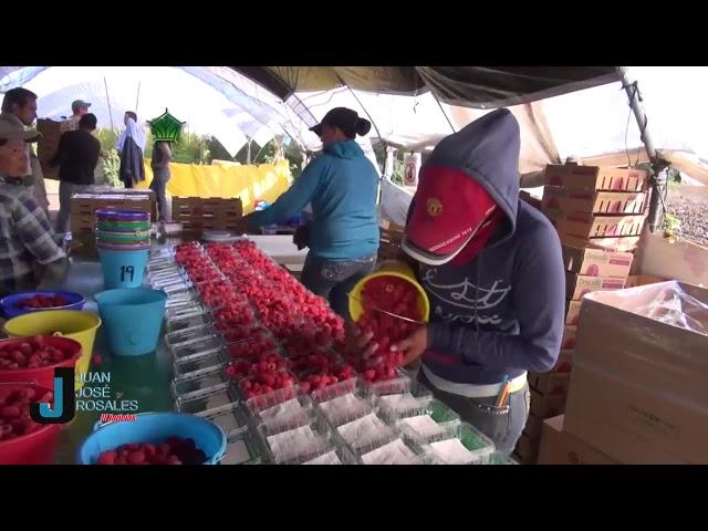 Millones de pesos recauda Michoacán con la producción de berries